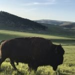 bison grazing on Ted Turner's land near new Montana Linen plant